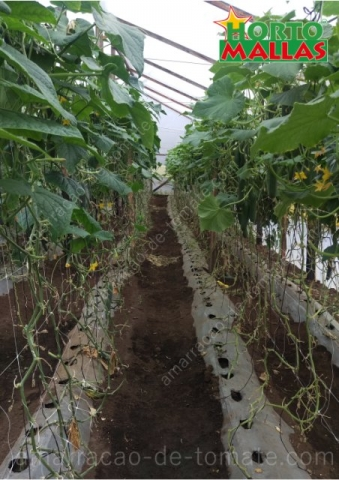Apreciação do espaçamento entre linhas de cultivo de pepino maduro em estufa, entutorado com treliças de malha
