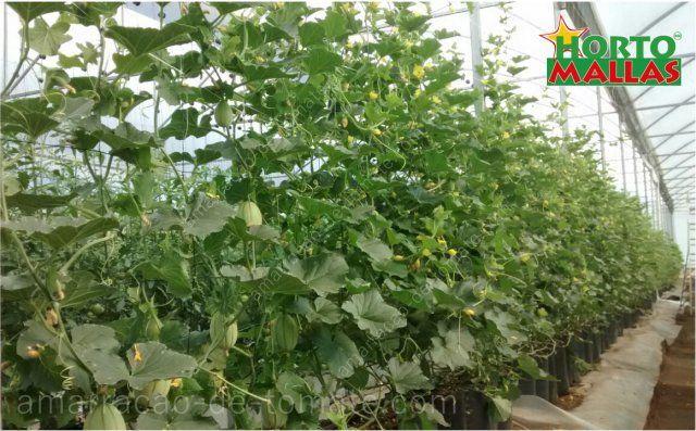 Cultivo de pepino na estufa, estaqueado com malha treliças