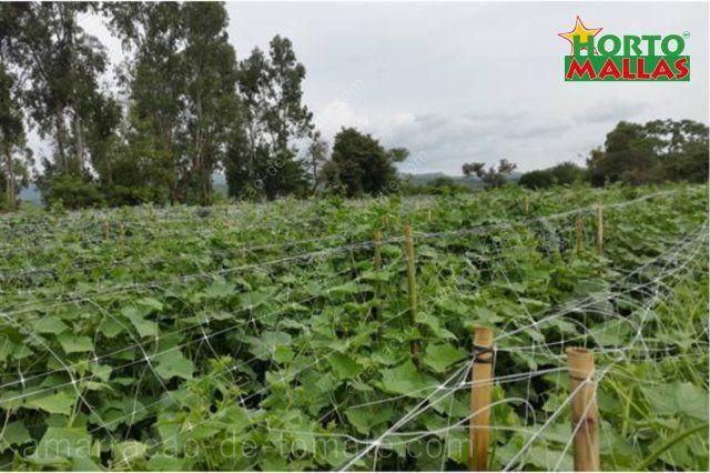 Cultivo do melão distribuído verticalmente com apoio de malha treliça, em altas densidades