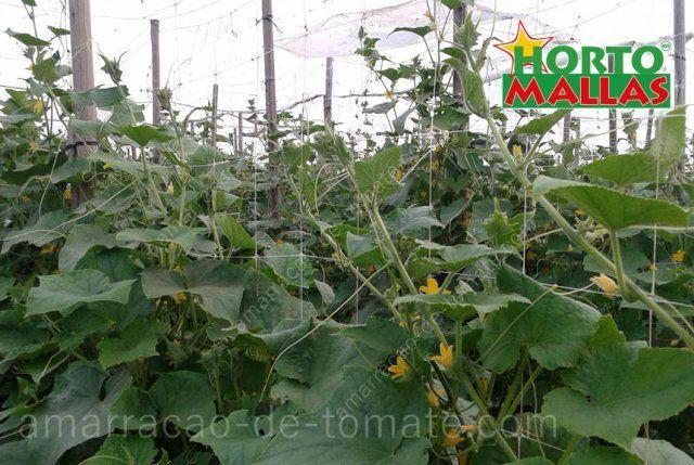 Cultivo protegido de pepino, com apoio de malha treliça