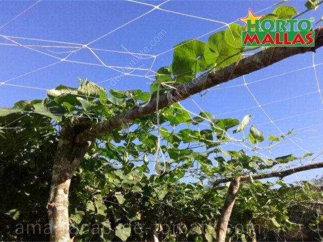 Cultura do pepino crescente malha treliça horizontais
