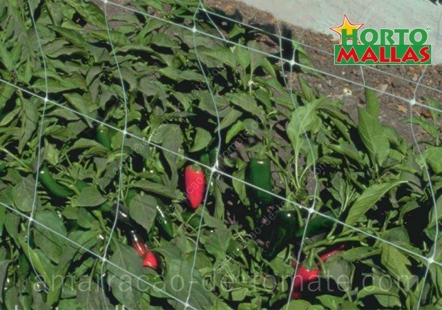 Estaqueamento de pimentas jalapeño, com malha treliças na cultura em campo aberto