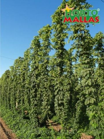 Lúpulo (Humulus lupulus) que cresce verticalmente