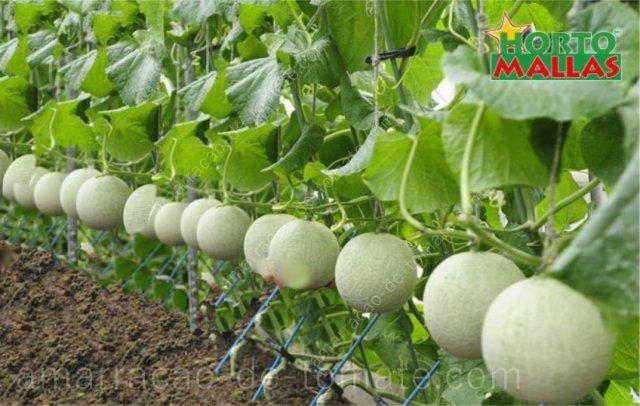 O cultivo hidropónico de melões entutorado verticalmente com malha treliça