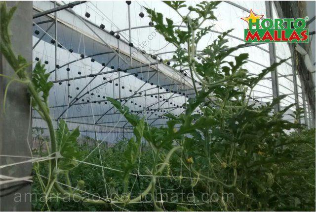 Plantas de cultivo do melão em crescimento na estufa entre treliças malha verticais