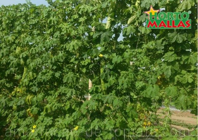 Plantas de melão amargo (Momordica charantia) distribuídos verticalmente em malha treliça em cultura em campo aberto