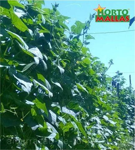 Plantas de pepino amadurecer crescem verticalmente em malha treliças na campo aberto