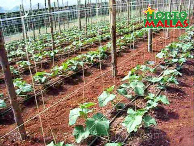 Plantas de pepino jovens com tutorado de malha treliça